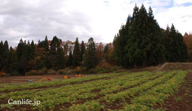 にんじんジュースのにんじん畑、収穫期になり葉が黄色くなってきた様子
